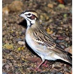 Animal Essences Sparrow (mus) (30 ml)