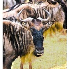 Animal Essences Wildebeest (30 ml)