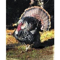 Animal Essences Wild turkey (kalkoen) (30 ml)