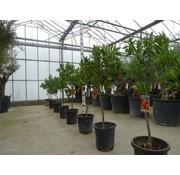Sinaasappelboom klein