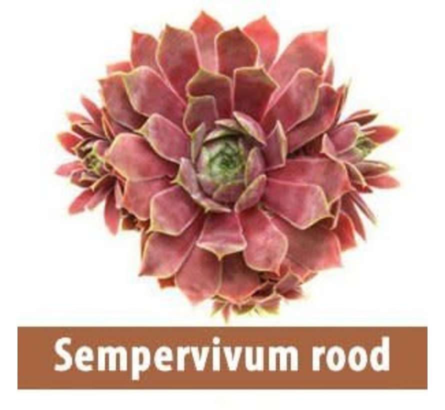 Sempervivum rood