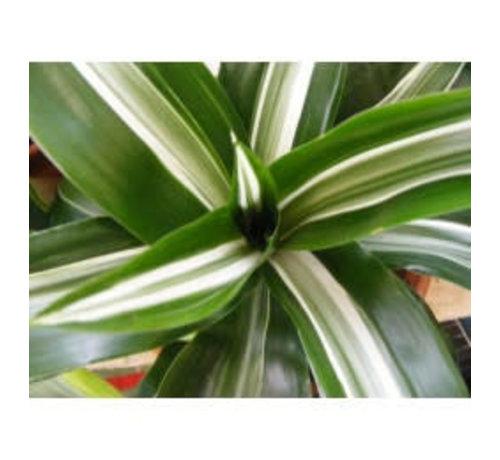 Dracena white jewel ( Wit Groen) - Living wall mini plant