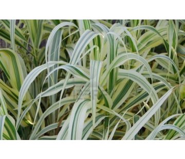 Chlorophytum (wit/groen) Living wall mini plant