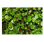 Peperomia rotundifolia - Living wall mini plant
