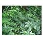 Schefflera - Living wall mini plant
