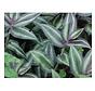 Tradescantia living wall mini plant