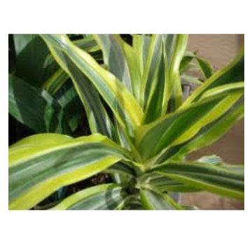 Dracena fragans Living wall mini plant