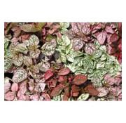 Fittonia mix (rood groen mix) - Living wall mini plant
