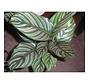 Calathea Rosea Picta Living Wall Plant