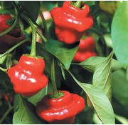 Peperzaad Jamaican Hot red