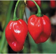 Peperzaad Scotch Bonnet Red