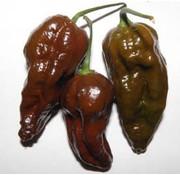 Peperzaad Buth Jolokia Chocolate
