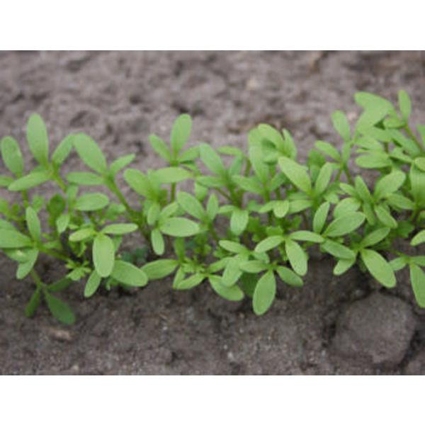 Tuinkers zaden - Cressida Lepidium sativum
