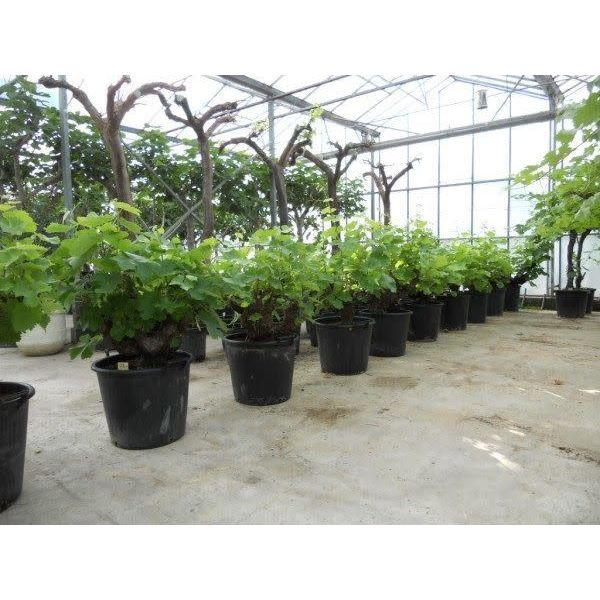 Druivenboom jumbo