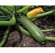 Courgette zaden - Cucurbita pepo