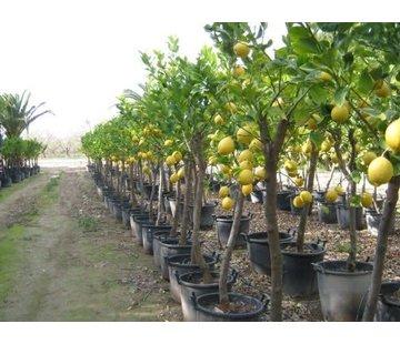 Citroenboom klein