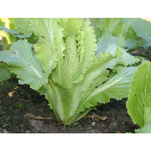 Chinese Kool zaden - Granaat Brassica pekinensis