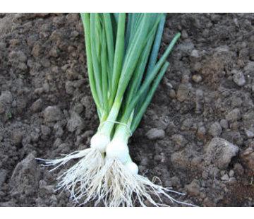 Bosui zaden - Allium cepa