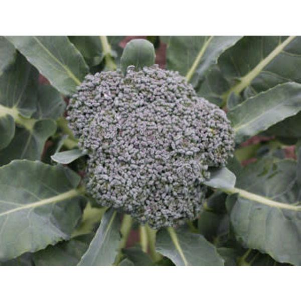 Broccoli zaden - Brassica oleracea var. cymosa