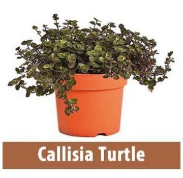 Callisia Turtle