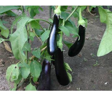 Aubergine zaden - Solanum melongena