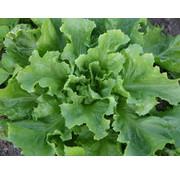 Andijvie zaden - Cichorium endiva
