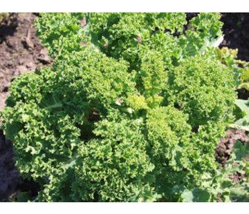 Boerenkool zaden - Brassica oleracea var. laciniata