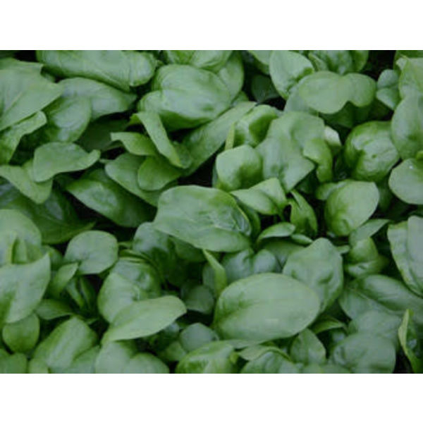 Spinazie zaden - Spinacia oleracea