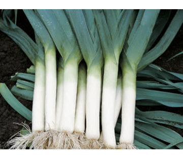Prei zaden - Allium ampeloprasum var. porrum
