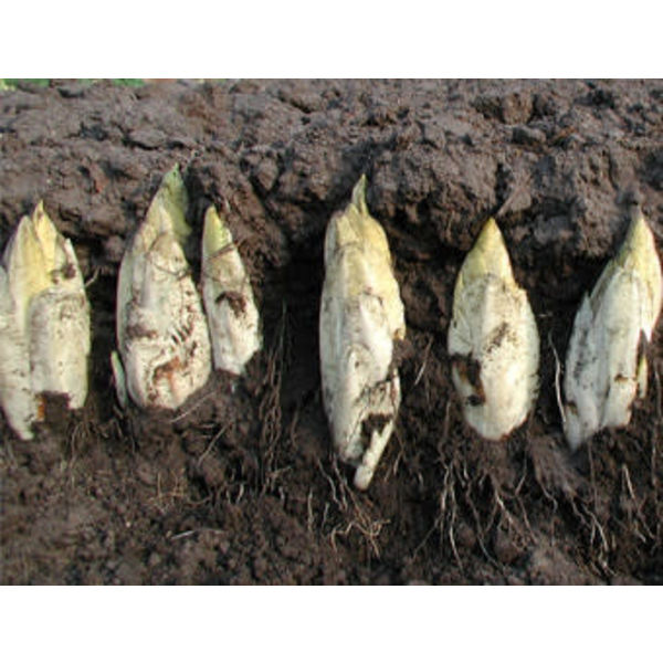Witlof zaden - Cichorium intybus var. foliosum