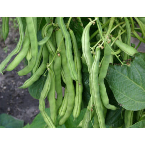 Stokslaboon zaden - Phaseolus vulgaris