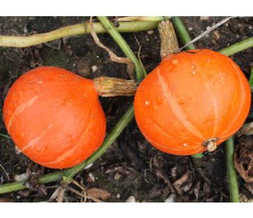 Pompoen zaden - Curcurbita maxima