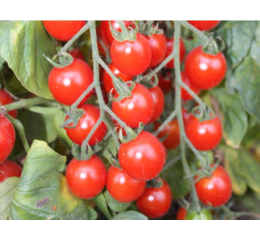 Tomaat zaden - Solanum lycopersicum L.