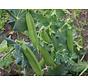 Sugar snap zaden - Lusake Pisum sativum