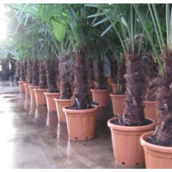 Palmboom Trachycarpus middel