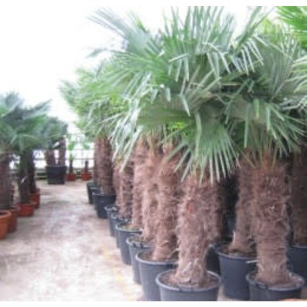 Palmboom Trachycarpus groot