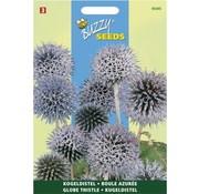 Buzzy Seeds Echniops ritro kogeldistel