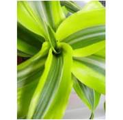 Dracena suprice Iiving Wall mini plant
