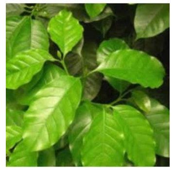 Coffea arabica (Groen, gaat bloeien) Iiving Wall mini plant