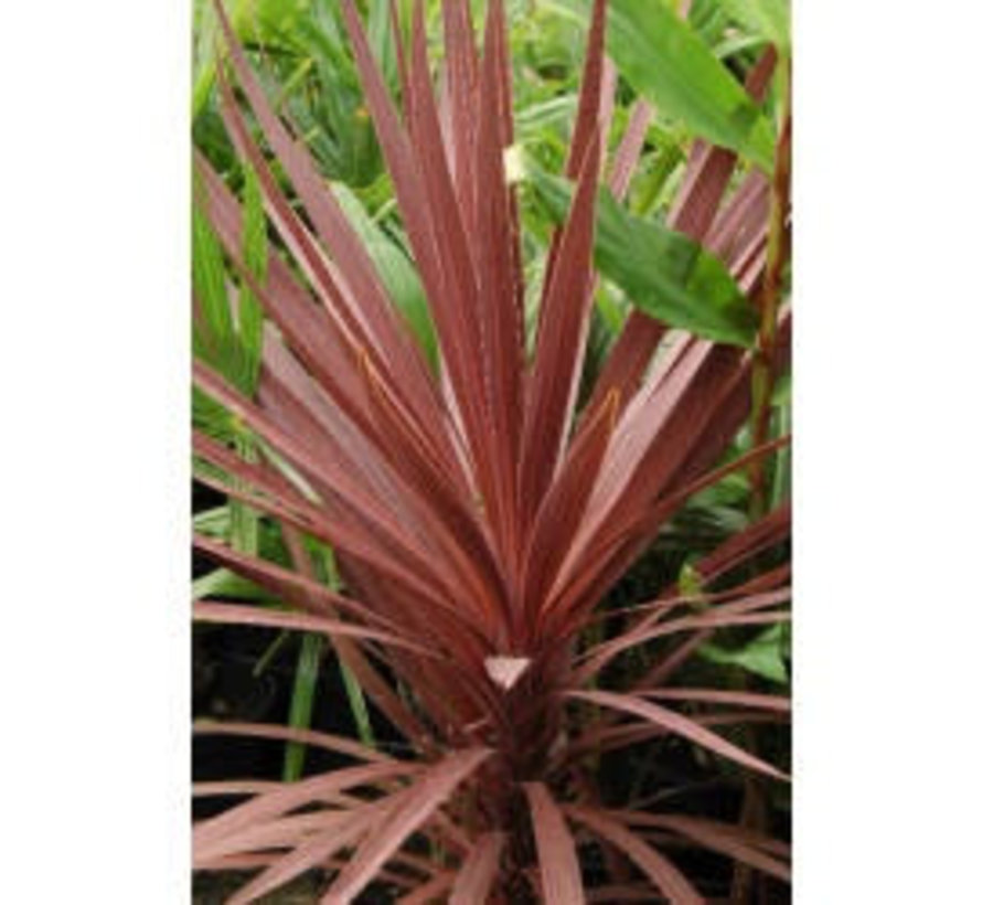Cordyline - Living Wall mini plant