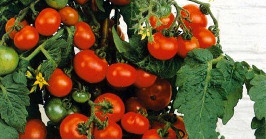 Cherry tomaat kweken