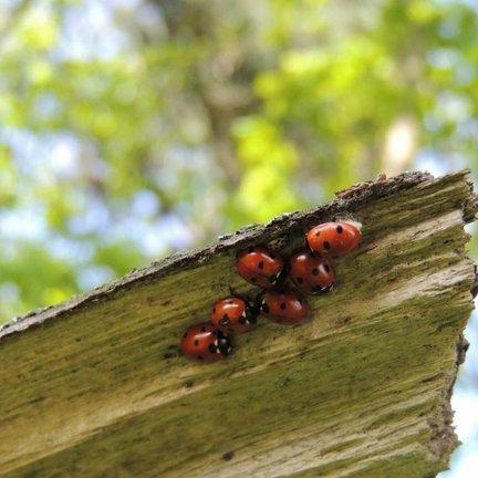 Nuttige insecten voor het biologisch bestrijden van ongedierte en schadelijke insecten