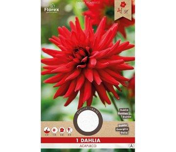 Florex Dahlia Cactus Acapulco Rood 1 st.