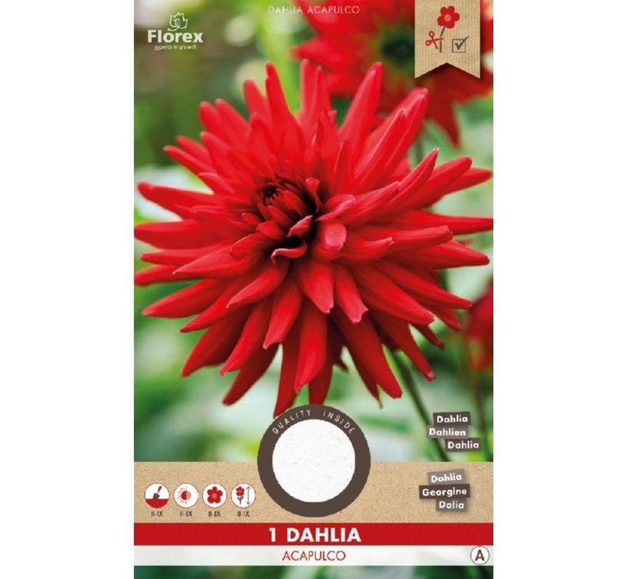 Dahlie Cactus Acapulco Rot 1 stück