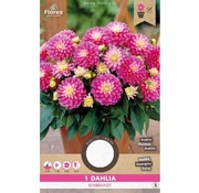 Florex Dahlia Decorative Gallery Rembrandt Rose Yellow 1 pc.