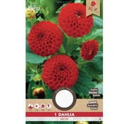 Florex Dahlia Pompon Glow  Red 1 pc.