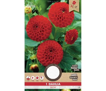 Florex Dahlia Pompon Glow  Red 1 pc.