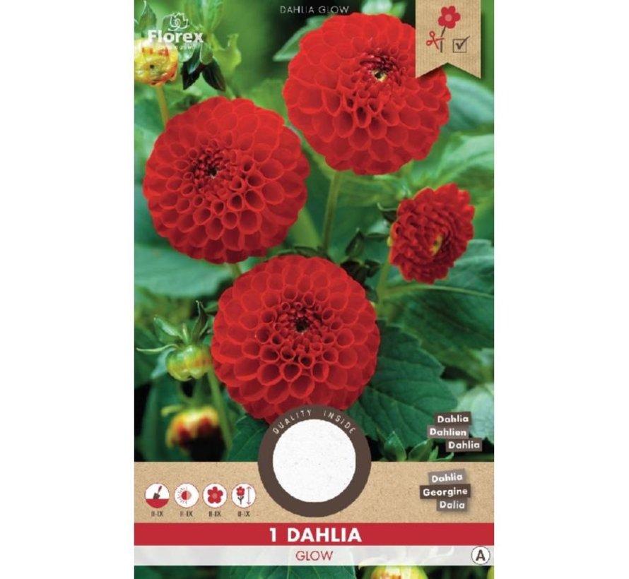 Florex Dahlia Pompon Glow Rood 1 stuk