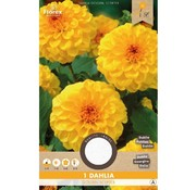 Florex Dahlia Pompon Golden Scepter Yellow 1 pc.