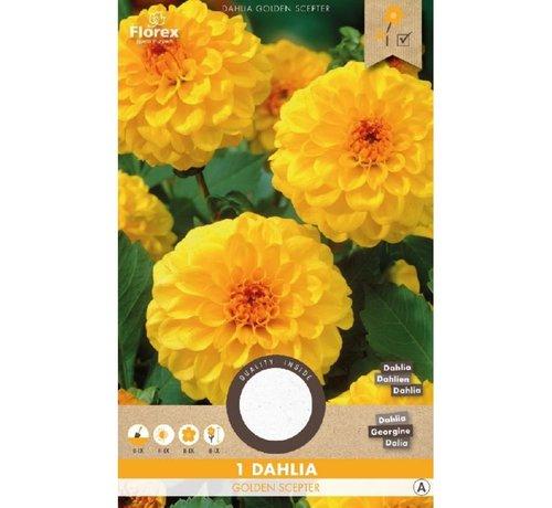 Florex Dahlie Pompon Golden Scepter Gelb 1 stück